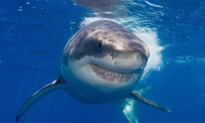 Close up portrait of a great white shark, Carcharodon carcharias.