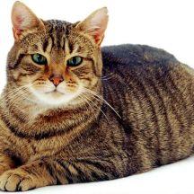 soriano-gatto-europeo
